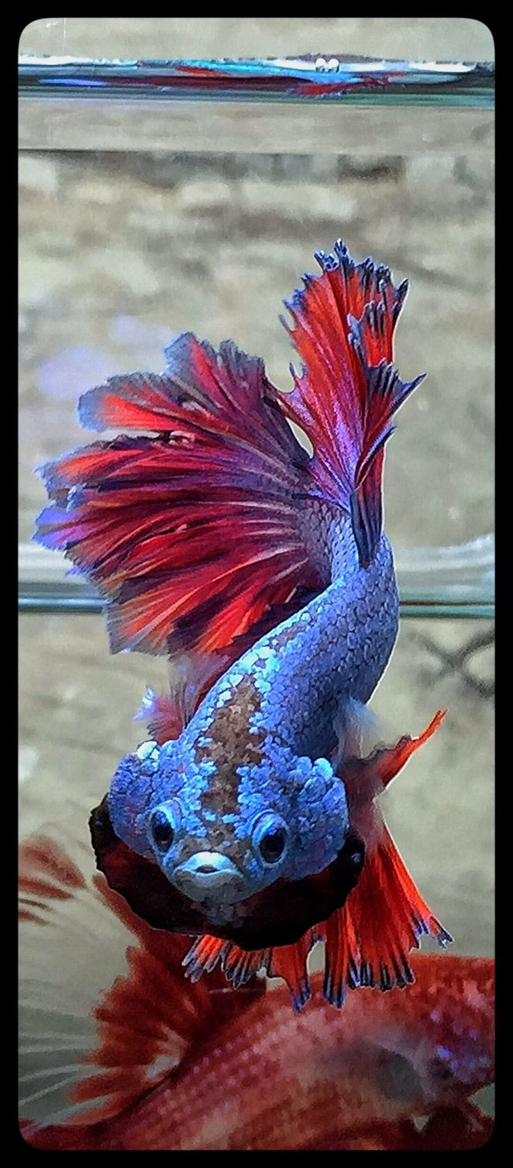 601 best images about Betta Fish Pictures on Pinterest