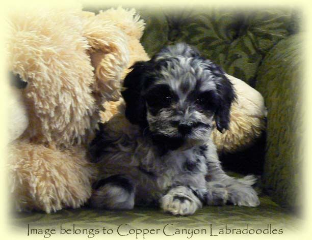 My Next Dog A Blue Merle Miniature Labradoodle Pup