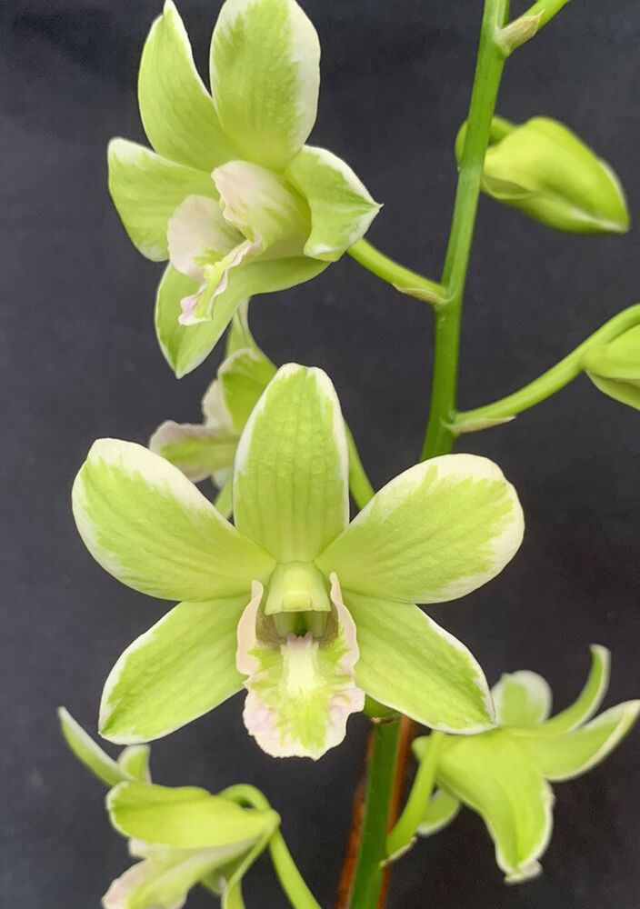 Dendrobium Jade Mutation Bs Orchid Plant Ebay In 2020 Orchid Plants Orchids Plants