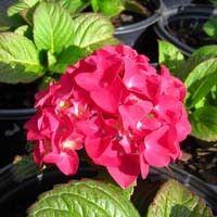 I need Grateful Red Hydrangeas in my yard!