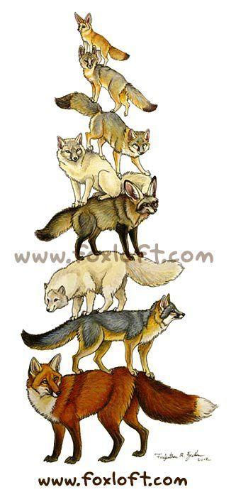 Vulpus Vulpus. Not a wolf, still canid enough though :)