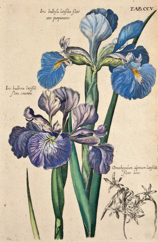 Michael Valentini - Iris bulbosa latifolia flore