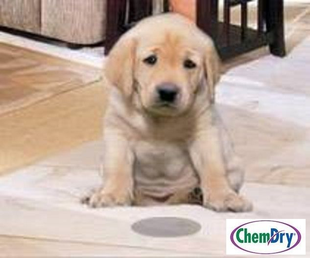Accidents happen! But we can help! Johnson County ChemDry's Pet Urine Removal Treatment Eliminates 99.9% of Odors and 99.2% of Bacteria from Pet Urine Deposits!  Call Today!  817-558-3113.