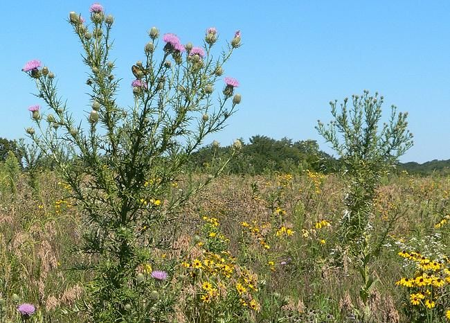 Native thistles for hummingbirds, butterflies, bees and birds ...
