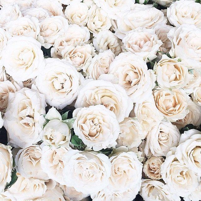 Best 25+ White Rose Flower Ideas On Pinterest