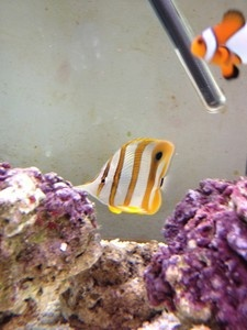 Marine Fish For Sale, Not Lps Sps Corals