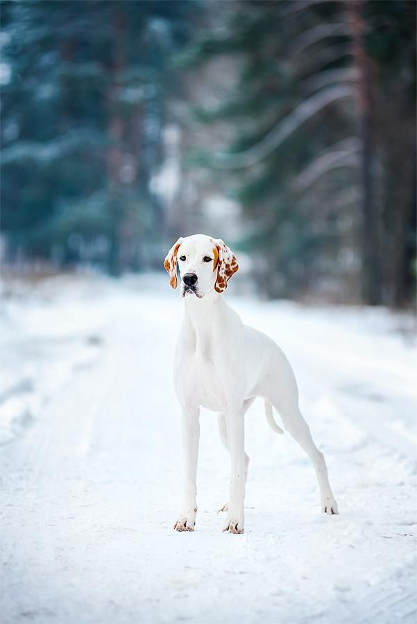 ENGLISH POINTER | BITCH | UKRAINE