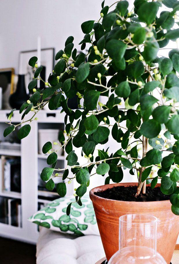 pillerfikus plant frikus
