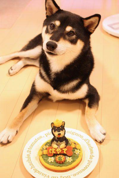 Japanese Style Dog's Birthday Celebration|Shiba inu 柴犬