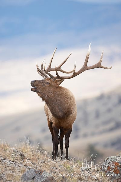 bull elk bugling...can you imagine hearing him!
