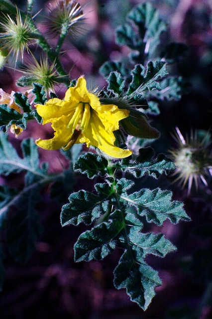Buffalo Bur Nightshade (Solanum rostratum): Photo