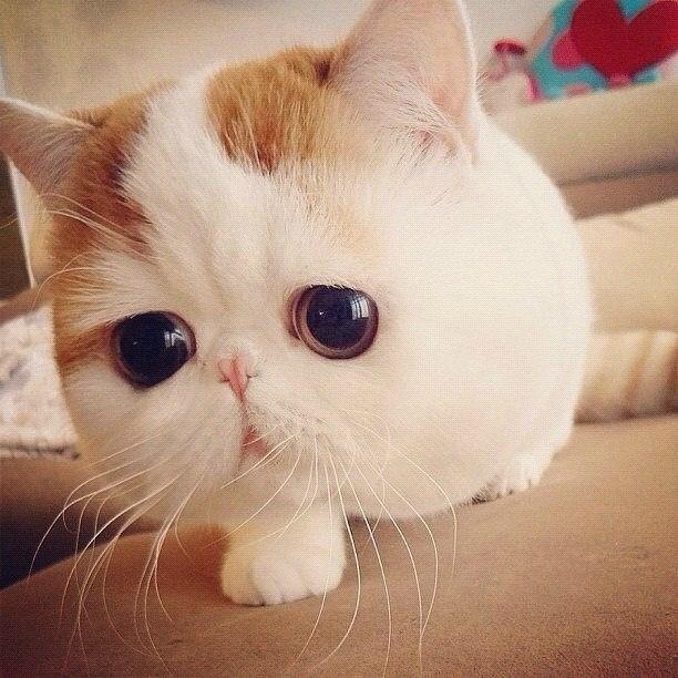 Exotic Shorthair Kitten | Cute.~ | Pinterest