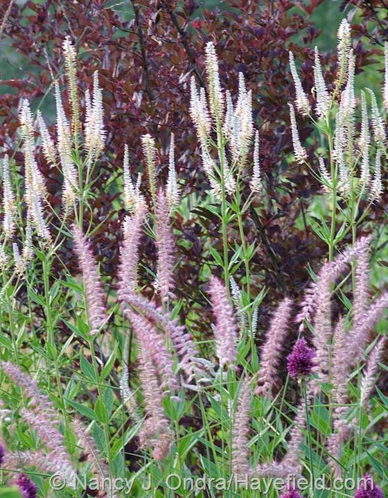 Fuzzy tails of karley rose oriental fountain grass for Oriental grass for shade