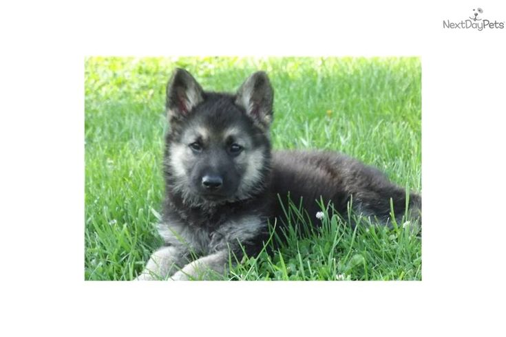 german shepherd wolf mix puppy | wolf--german-shepherd-male-puppydog-wolf-hybrid-puppy-617e05f1-cfb7 ...