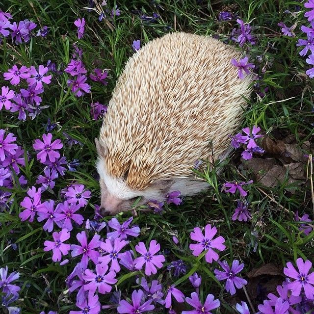 1000 images about cute hedgehogs on pinterest guinea pigs pets and