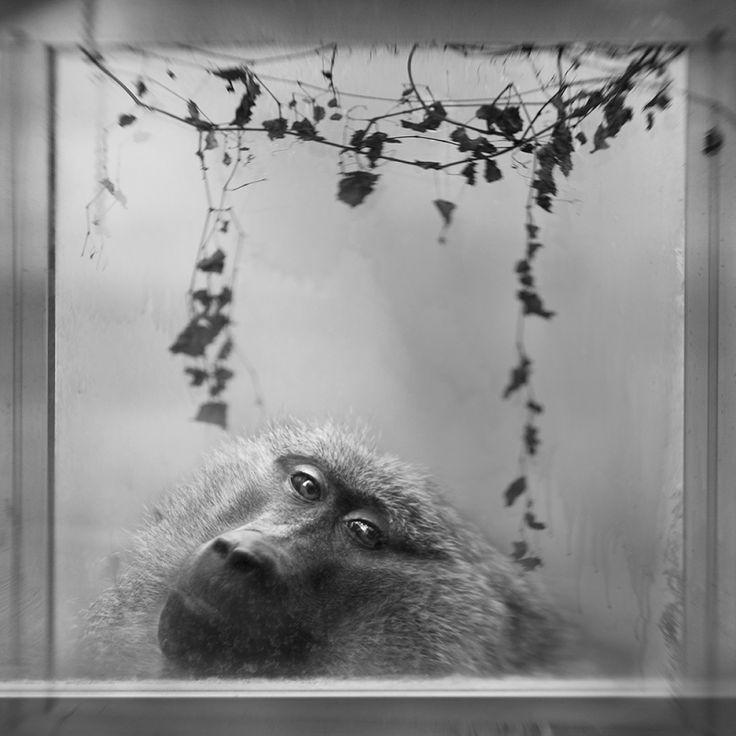 Anne Berry Baboon in Window