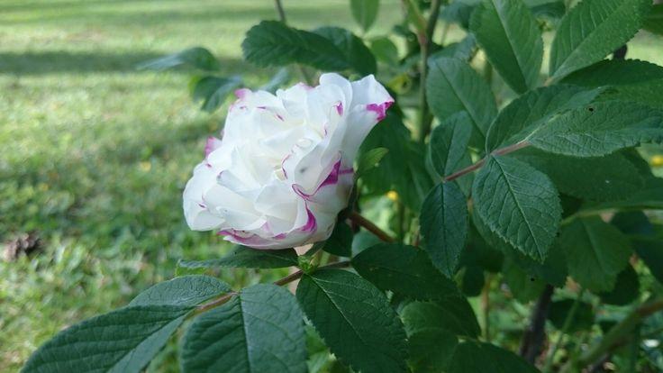 Rosa 'Louise Bugnet'
