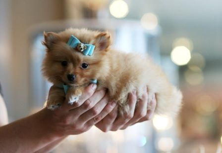 Teacup Pomeranians For Sale