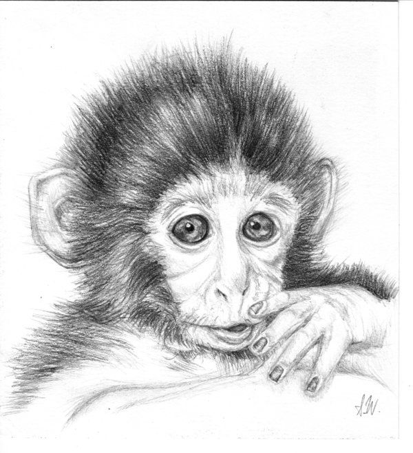 Pencil Drawings of Monkeys | Baby Monkey by SprigTwig ...