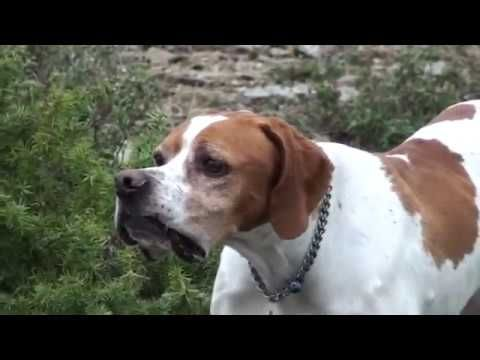 Cani Da Caccia Setter Ingelse Vs Pointer Su Fagiano Cani Da