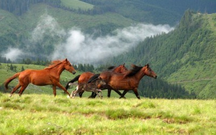 Wild Horses In Romanian Mountain. http://us.123rf.com/400wm/400/400/haak78/haak781010/haak78101000013/8077017-wild-horses-in-romanian-mountain-rodna.jpg