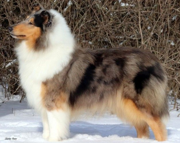 Ch Omega S Imagine That Collie Rough Click On Breed To View