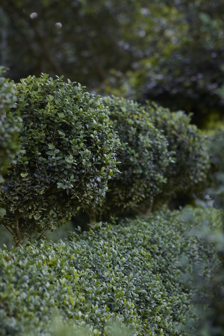 A recent survey of landscape designers voted boxwood the most popular shrub in America and the American Boxwood Society lists 365 cultivars. But when most