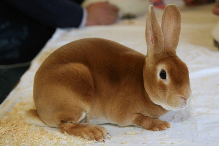 Orange -  National Orange and Fawn Rex Rabbit Association
