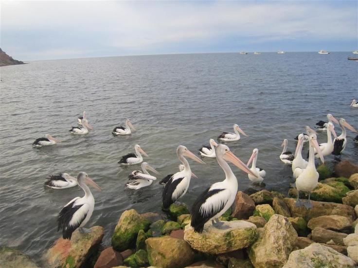 Pellicani - Kangaroo Island Australia
