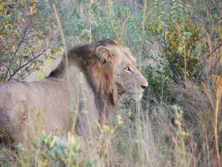 Lion. Kruger National Park, South Africa 2009.