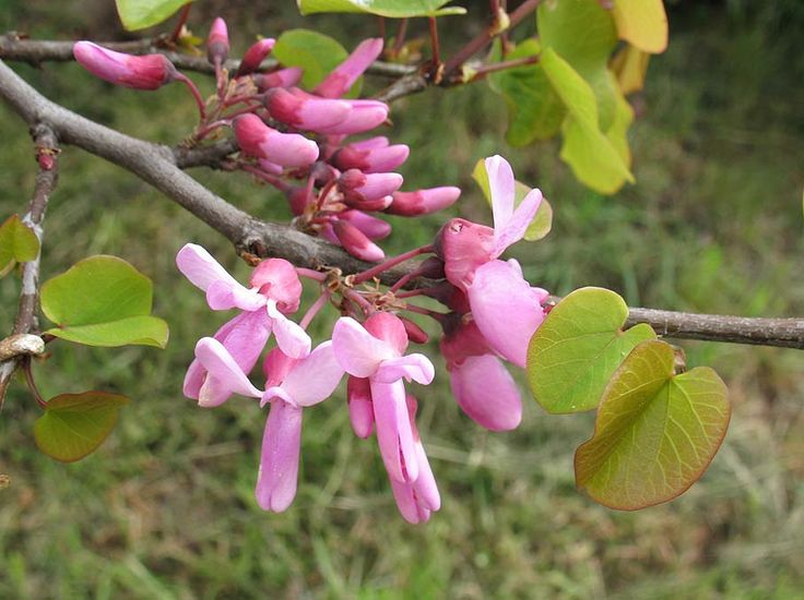 cercis siliquastrum - fleurs   Arbre de judée, Abeille ...