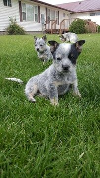 Australian Cattle Dog Puppy For Sale In Delta Co Adn 34623 On Puppyfinder Com Gender Male Age 9 Weeks Old Puppies For Sale Heeler Puppies Poodle Puppy