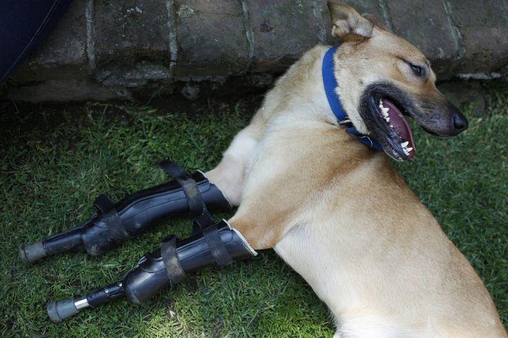 Der Hund Pay de Limon lebt im Tierheim Milagros Caninos in Mexico City und ist mit zwei künstlichen Gliedern ausstaffiert. Mitglieder einer Drogengang hackten ihm seine Pfoten ab, um für das Fingerabschneiden beim Menschen zu üben. (29. August 2012)
