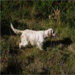 Las 10 Mejores Razas de Perros de Caza | Blog Perro-setter ingles
