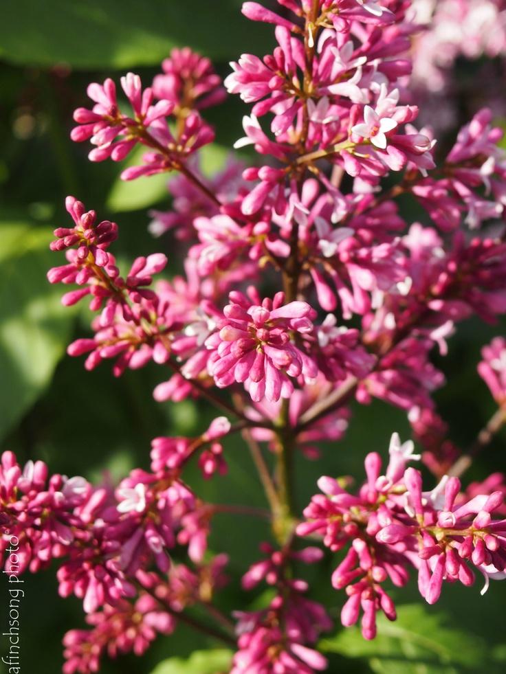 Syringa x prestoniae 39 redwine 39 redwine lilac deciduous for Flowering bushes for full sun