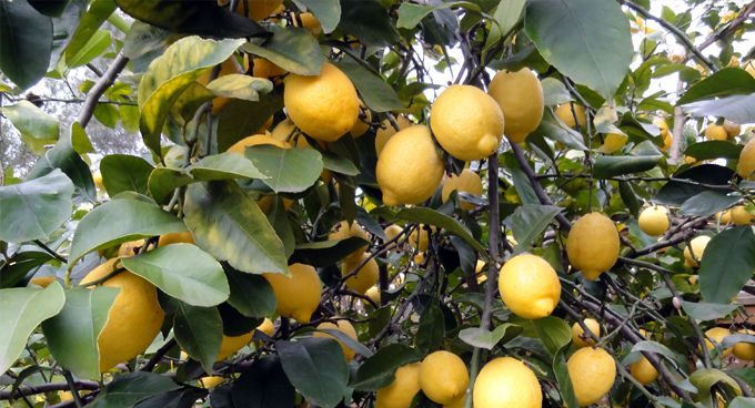 Growing cool climate citrus   Sustainable Gardening Australia