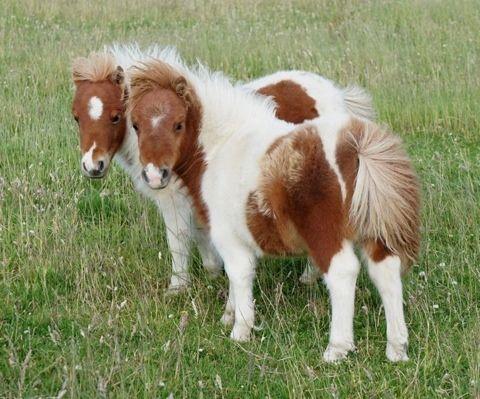 shetland pony - Google Search
