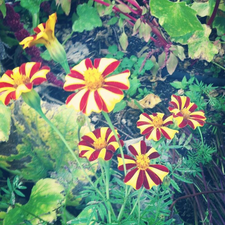 Peppermint Flowers