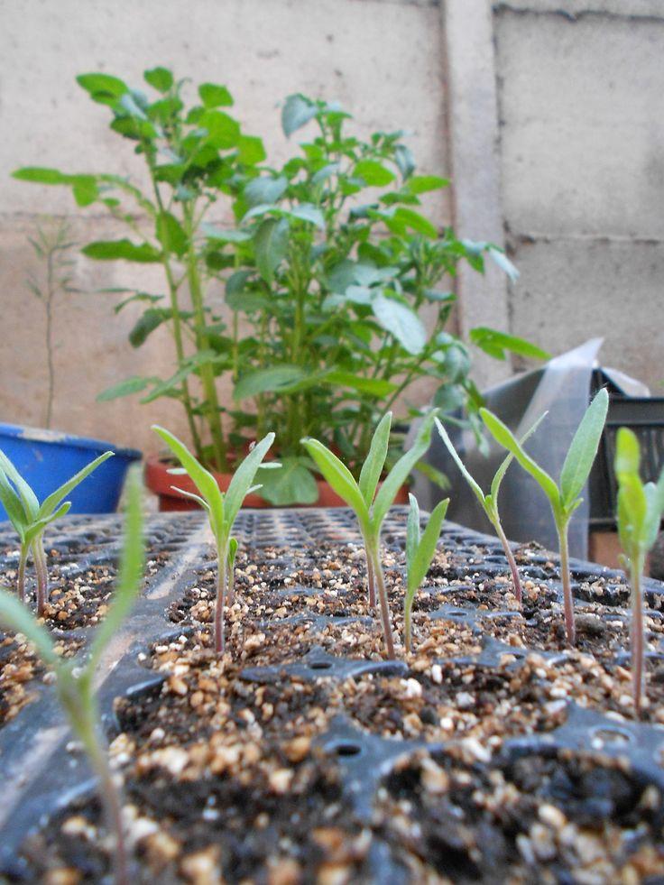 almacigos de tomate