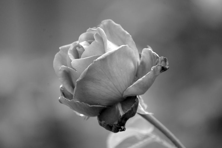 Rose in monocrome