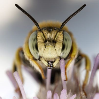 Buzz Kill: How the Sierra Club uses scare tactics about bee health and twists the science to raise money | Genetic Literacy Project