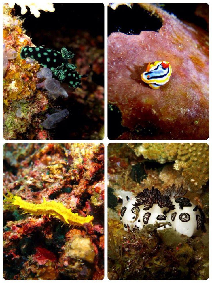 Nudibranches. Raja Ampat, West Papua.