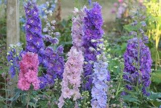 Delphinium 'Dwarf Stars', at just 2½ feet tall, can be grown closer to the front of the border than the taller 'Pacific Giants'  and does not need staking — even in windy situations.
