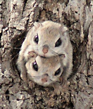 Japanese dwarf flying squirrel 巣穴から顔を出したエゾモモンガちゃん