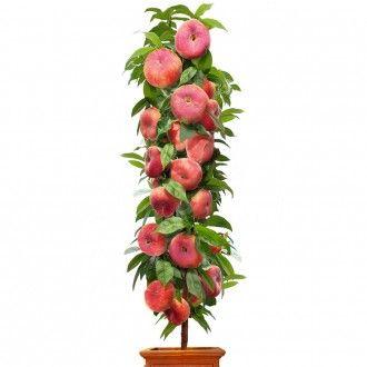 Säulen-Tellerpfirsich Little Pinocchio - Säulenobstbaum, zweijährig