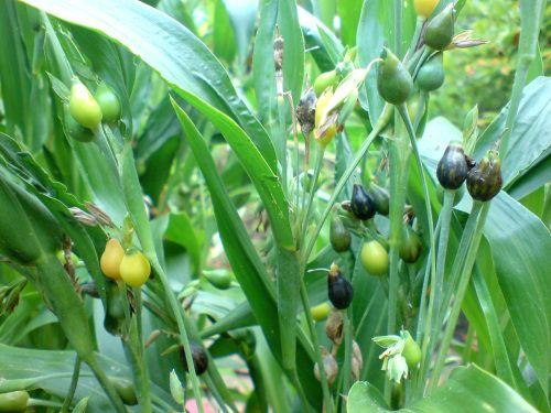 SiSTSP – Lágrima-de-nossa-senhora (Coix lacryma-jobi) | Tudo Sobre Plantas