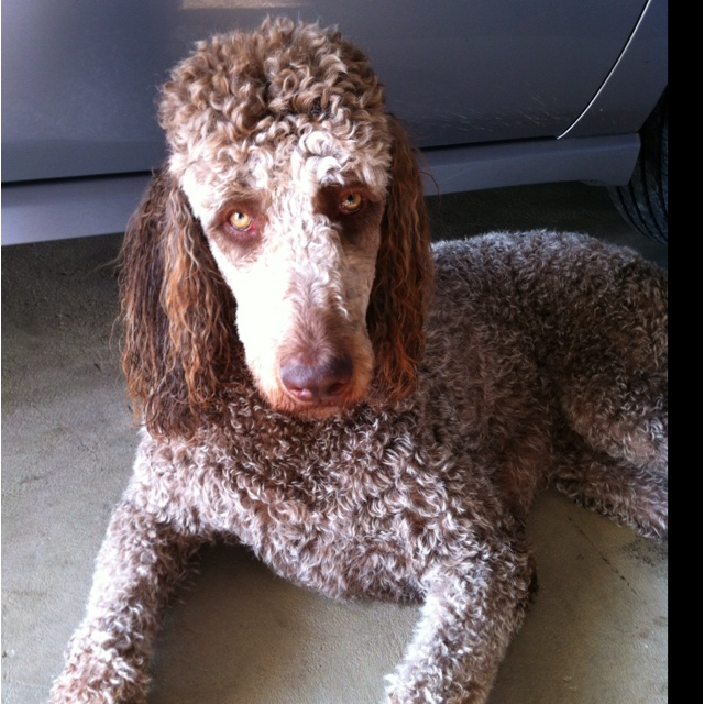 silver beige standard poodle pinterest the world s catalog ...