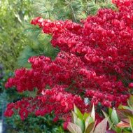 The stunning red foliage of the Spindle tree- Euonymus europaeus 'Red Cascade' in all its glory.