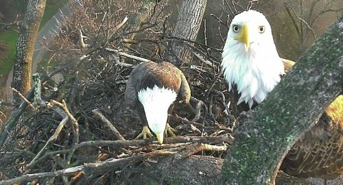 "'Mr. President"" and ""The First Lady"" can be seen on a live nest cam now at the U.S. National Arboretum. (Courtesy of American Eagle Foundation)"