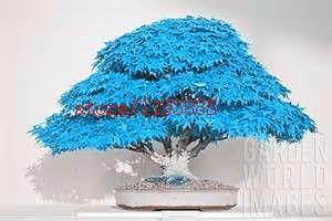 %% ตอรอง 20pcs/bag bonsai blue maple tree seeds Bonsai tree...